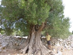 SIGHTSEEING OF LUNS OLIVE ORCHARDS